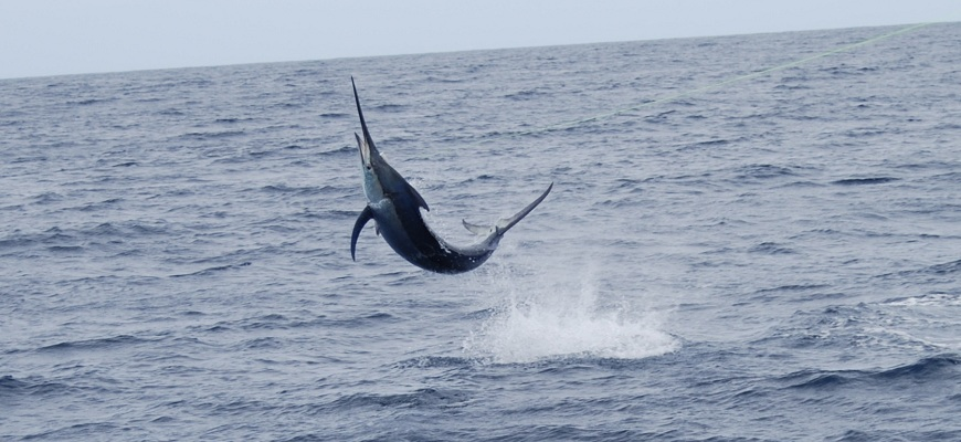 Black Marlin in Kadavu, Fiji on Bite Me