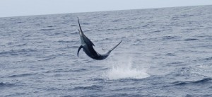 Black Marlin in Kadavu, Fiji with Bite Me