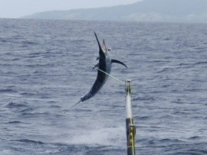 Black Marlin hooked up on Bite Me
