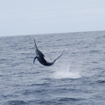 Black Marlin on Bite Me Gamefishing Charter