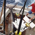 Blue Marlin on Bite Me Gamefishing Charter