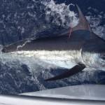 Blue Marlin aboard Bite Me (12)
