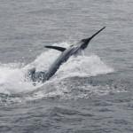 Blue Marlin aboard Bite Me