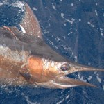 Blue Marlin aboard Bite Me (3)