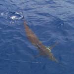 Blue Marlin aboard Bite Me (7)