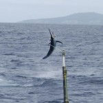 Kadavu Black Marlin – New Fishery?